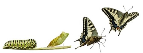 butterfly transformation2
